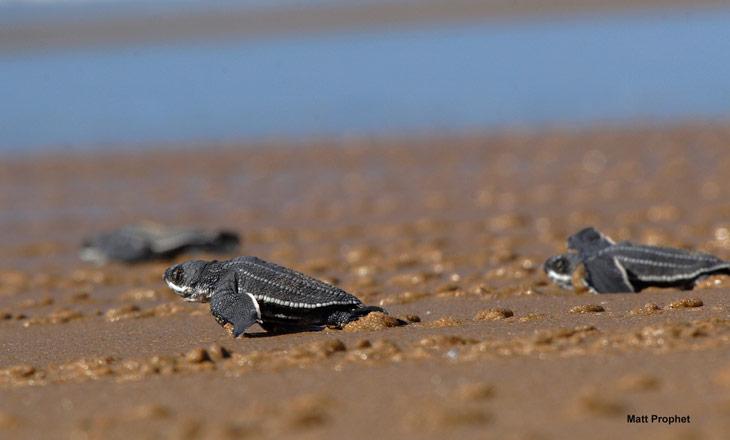 Tartarugas-Coreaceas_hatchlings_2
