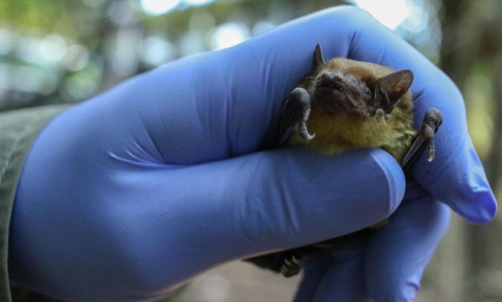 Ara-Preparing-to-Release-yellow-house-bat-Chimanimani-Millie-Kerr-for-FFI-1