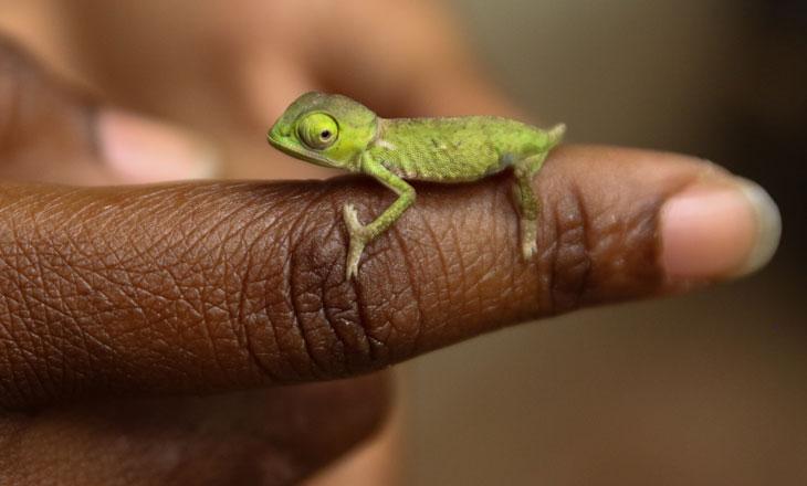 Baby-Chameleon-on-Student's-Hand-Chimanimani-Millie-Kerr-for-FFI-1