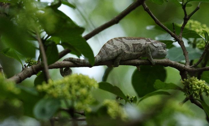 Chameleon-Lizard-Full-Body-Chimanimani-Millie-Kerr-for-FFI-1