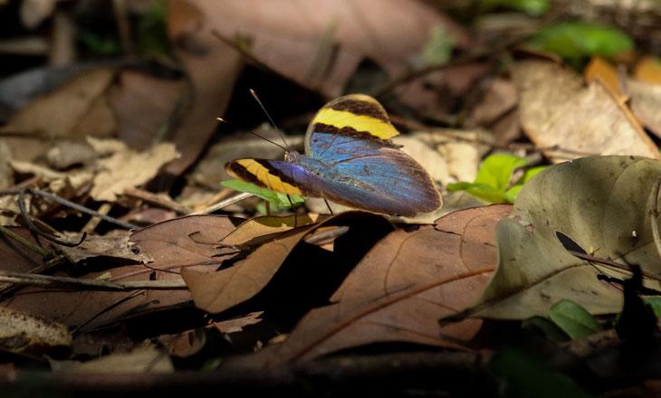 Euphaedra-neophron-butterfly-Chimanimani-Millie-Kerr-for-FFI-1