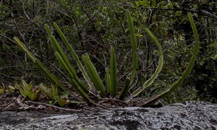 Euphorbia-Graniticola-Larger-Millie-Kerr-for-FFI-1