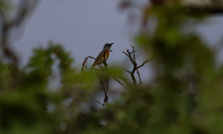 Miombo-Rock-Thrush-Chimanimani-by-Millie-Kerr-for-FFI--(1-of-1)