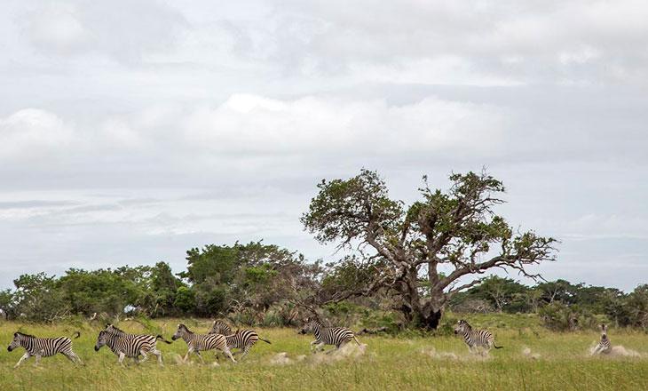 REMaputo-Zebras-Andrea-Bogarello