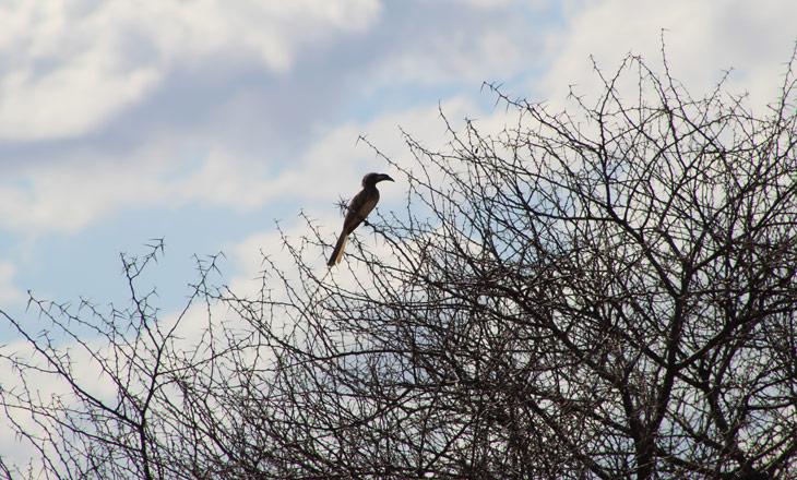 African-Grey-Hornbill_DN_SGP_090920-(42)
