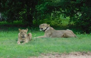 Família de leões dá boas-vindas às estagiárias do PLCM na Reserva Especial Niassa