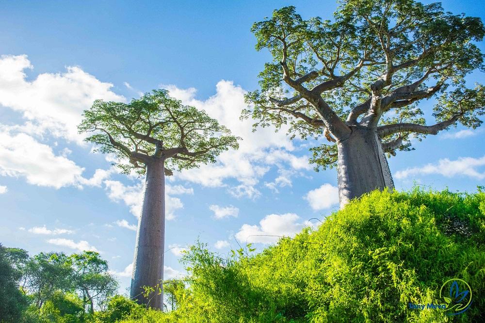 Baobab - Morondava-0211