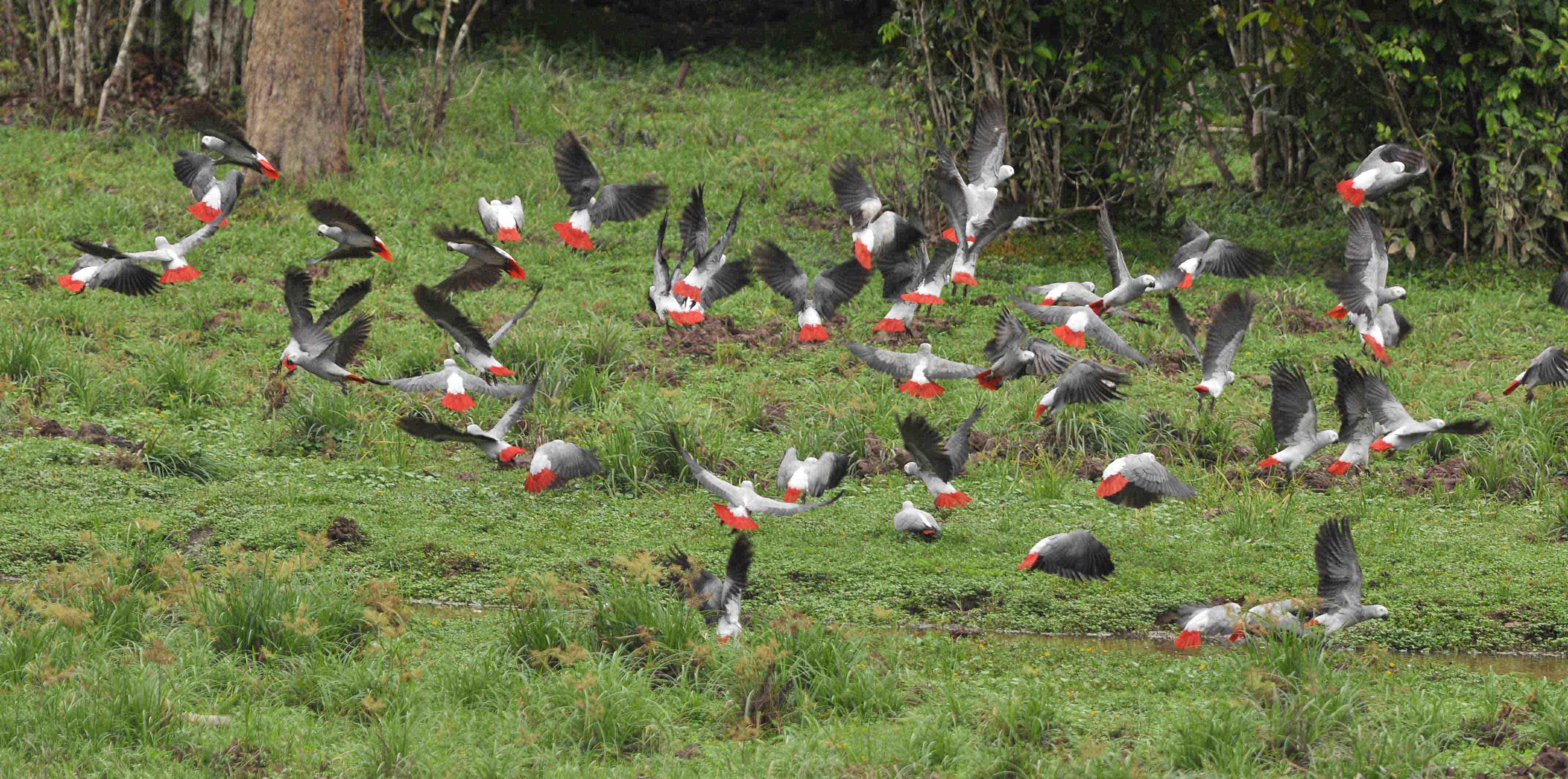 DSC_6833 Grey Parrot Psittacus erithacus Dzanga-Sangha NP Central African Republic (c) Matthias Dehling WWF